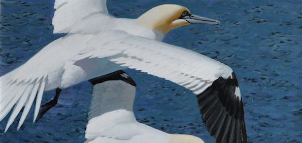 KEITH SHACKLETON; Four Gannets in Flight, Oil on Board.